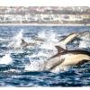 Понад 100 тисяч дельфінів біля берегів Сан-Дієго (відео)