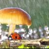 Сонечка в росі