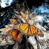 Щорічна міграція метеликів монарх