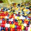 Індіанські фермери виростили різнобарвну кукурудзу