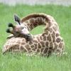 Як сплять жирафи