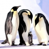 Як живуть пінгвіни