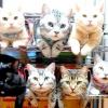 Кияни беруть кішок напрокат