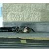 Крокодил забрів у супермаркет