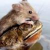 Жаба врятувала потопаючу миша