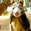 Незвичайні тварини австралії