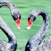 Нетрадиційність чорних лебедів