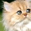 Персидська кішка стане космонавтом