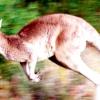 Поранений кенгуру сам прийшов в аптеку