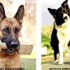 Рейтинг найрозумніших собак