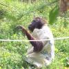 "Самка орангутанга сама зробила собі ""сукню"""