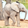 Слоненя в перший раз купається в морі (відео)