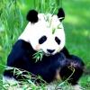 В америці вперше народилися близнюки панди