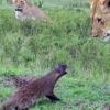 У кенії відважний мангуст воював з левами