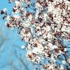 У московському ботанічному саду цвіте сакура