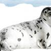 У норвезькій гаю знайшли тюленя