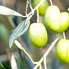 В оливкову гай дали пустять туристів