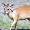Занзібарський дукер, зникаючий вид