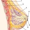 Жіночі груди, анатомія