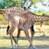 Жираф танго