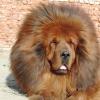 Собака замість лева