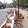 Сотні оленів заполонили японське місто