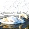 Порятунок лебедів на озері Башкирії