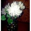 Хризантеми з лука