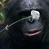 Шимпанзе приготував десерт